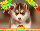 北京买哈士奇幼犬专业狗场出问题包退换签协议