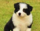 佛山 高品质的边境牧羊犬出售了 疫苗做完 质量三包