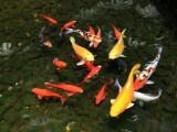 北京密云養殖場大量批發,零售,錦鯉 紅鯽魚