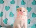 上海美短多少钱 上海哪里出售的美短幼犬价格较便宜