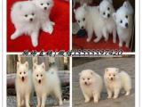 出售雪白银狐幼犬 日本尖嘴银狐宝宝 三针齐全