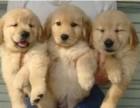 顶级纯种金毛幼犬 品质保证