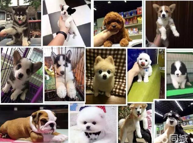 台州本地出售一金毛一萨摩耶一比熊一哈士奇一边牧一巴哥一柴犬等
