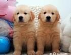 金毛导盲犬忠诚可爱的金毛犬聪明伶俐宠物狗活体
