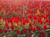 山东优惠的鸡冠花|青州鸡冠花