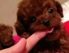 深圳狗狗之家长期出售高品质 泰迪 售后无忧