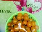 鑫鑫5号草莓采摘园