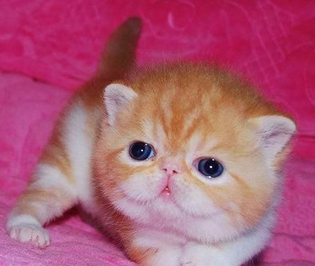 宜昌地区加菲猫出售