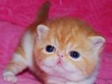 猫舍自家繁育双血统异国短毛加菲猫