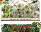 樱桃采摘火热进行中,石家庄周边最近最便宜的采摘园林