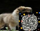 cku大型养殖基地出售纯种牧羊犬 带血统