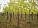 辽宁50公分皂角树基地出售优质品种