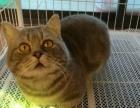 曼基康矮脚猫蓝金渐层小猫