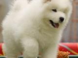 沈阳出售纯种健康萨摩耶犬幼犬包健康签协议