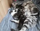 北京顺义,自家养美短加白,标斑小奶猫求新家