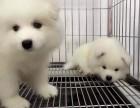 专业养殖场出售萨摩耶幼犬-品相好包健康包纯种签协议