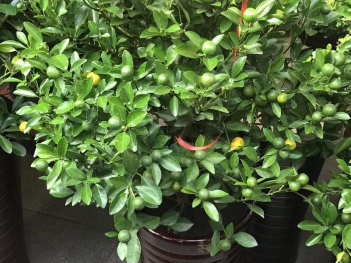 哈尔滨木兰批发小绿萝发财树买花送小盆栽