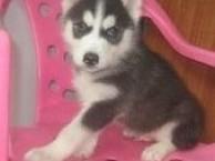 出售哈士奇幼犬 纯正可爱 无病 包健康 签订售后协议