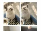 布偶猫家庭繁殖