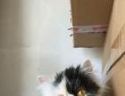 八百出售长毛加菲猫小母