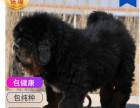 哪里有卖藏獒犬藏獒犬多少钱 支持全国发货