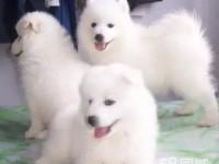 双眼皮品相好精品统萨摩耶幼犬 超级萌物 多只