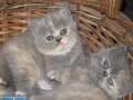 哪里有波斯猫卖 买波斯猫小猫 必选天天猫舍