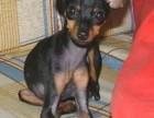 郑州本地犬舍出售纯种 小鹿犬幼犬 同城可送货 保存活