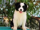 佛山养狗场出售多种宠物狗 纯种边境牧羊犬多少钱一只 多窝挑选