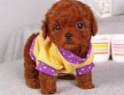 重庆犬类智商仅次于边牧的小可爱 居家必备 纯种小泰迪