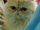哪里有波斯猫卖 纯种 无病无廯 协议质保