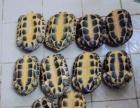 出售南石种龟和专业定制种龟池半水龟池龟苗保温箱
