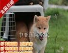 宠物狗 纯种柴犬幼犬 视频看狗 免费送货上门