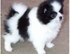 **养殖经验 完善健康保障 高品质蝴蝶幼犬