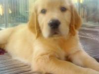 长沙养殖基地直销金毛犬及其它幼犬 签协议 送用品