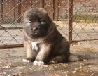 狗场里的高加索能不能养活 价格贵不贵