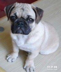 六百出售,我家大狗生的一窝纯种巴哥宝宝,狗狗非常可爱
