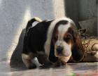 哪里有卖巴吉度猎犬 巴吉度多少钱