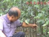 安徽果树苗发展基地丨安徽嫁接梨苗销售品种丨新品种梨树苗批发