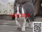 成年斯坦福犬的图片视频 斯坦福犬适合看家护院吗