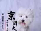 南昌哪里有卖纯种西高地犬的