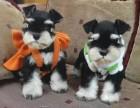 聪明可爱的雪纳瑞犬可带回家去,小狗狗也很迷人