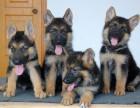 南京哪有黑背犬卖 南京黑背犬价格 南京黑背犬多少钱
