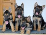 嘉兴哪有黑背犬卖 嘉兴黑背犬价格 嘉兴黑背犬多少钱