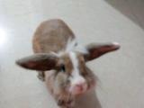 一岁垂耳兔找个新家