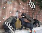 猛犬卡斯罗 公母均有 卡斯罗犬舍 卡斯罗打猎厉害吗
