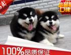 纯种阿拉斯加犬出售 终身质保 质量三包 签协议