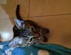 自家母猫生的小猫免费求领养