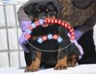 纯正健康的罗威那犬憨厚忠诚体格健壮专业标准已打疫苗
