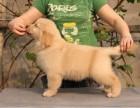 高智商 孩子大人都喜爱的伴侣犬 纯种可爱金毛犬